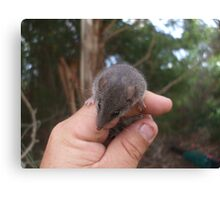 Agile Antechinus Canvas Print