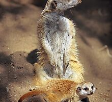 Portrait of a Meerkat by Austin Weaver