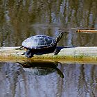 Painted turtle in the sun by amontanaview
