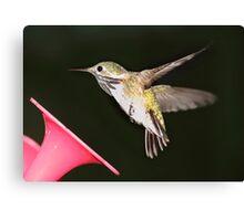 Hummingbird at the Feeder Canvas Print