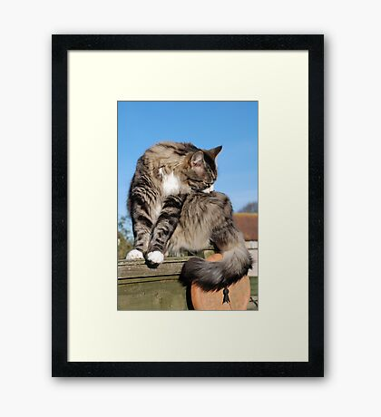 Tabby cat cleaning fur Framed Print