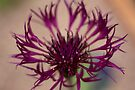 Centaurea-Amethist Dream by Valerie Henry