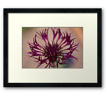 Centaurea-Amethist Dream Framed Print