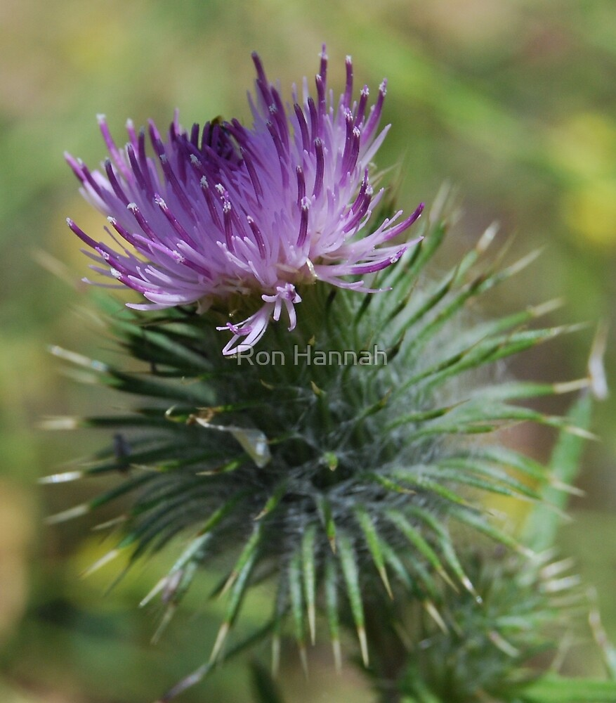 Thistle by Ron Hannah