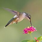 Hummingbird and Lantana by Bonnie T.  Barry