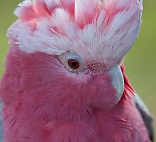 A cheeky little galah by Alan  McIntosh
