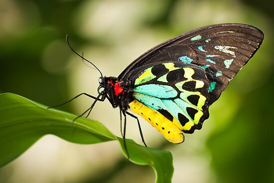 Birdwing Butterfly by Johan Larson