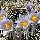 Pasque Flower by Yacoub Hilweh