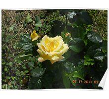 Brookwood Yellow Rose #148 Poster
