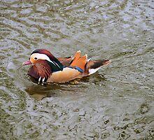 swimming, swimming, swimming by Cheryl Dunning
