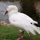 snow goose by Cheryl Dunning