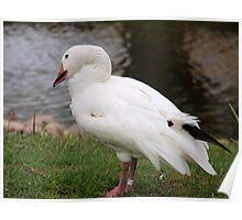 snow goose Poster