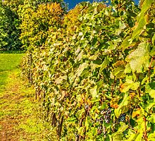 Vineyard-autumn painting, oil painting, nature by Rostislav Bouda