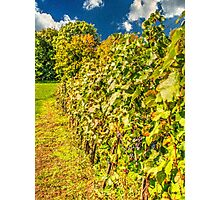 Vineyard-autumn painting, oil painting, nature Photographic Print
