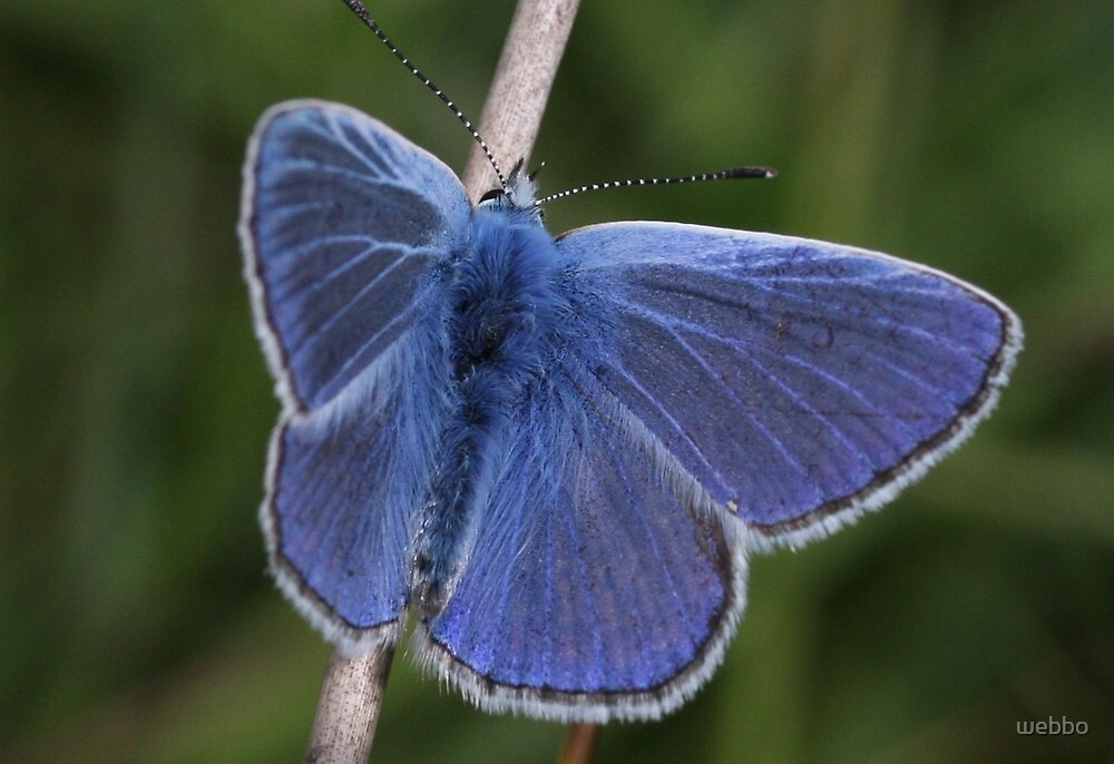 Common Blue by webbo