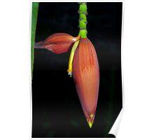 Deep orange banana flower Poster