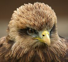 Yellow Billed Kite Portrait by Mark Hughes