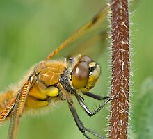 Four spotted chaser by jaffa
