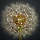Single Dandelion in Sunshine by Presence
