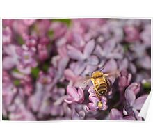 Bee on the Lilacs Poster