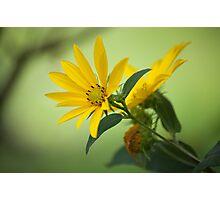 Woodland sunflower Photographic Print