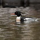 Red Breasted Merganser by Joe Jennelle