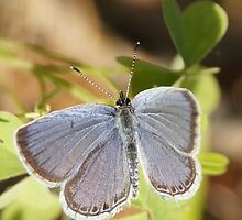 Blue Butterfly Beauty by BLemley