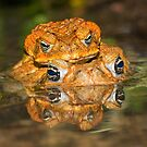 Toads mating by Johan Larson