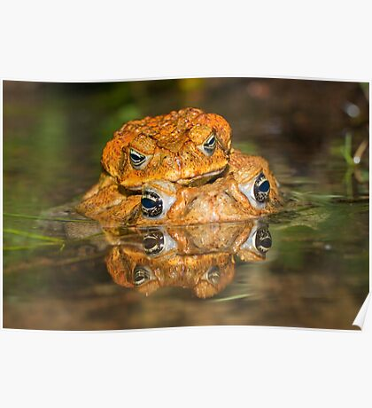 Toads mating Poster