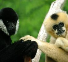 White - Cheeked Gibbons by Tamara  Kenneally