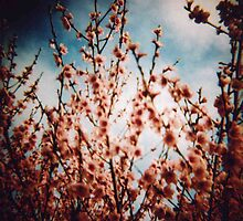 Pink blossom by Sally McColl