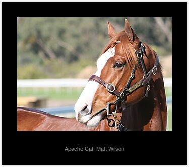 Buy 'Apache Cat' Laminated Print