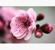 Cherry Pink Photographic Print by Stephen Mitchell