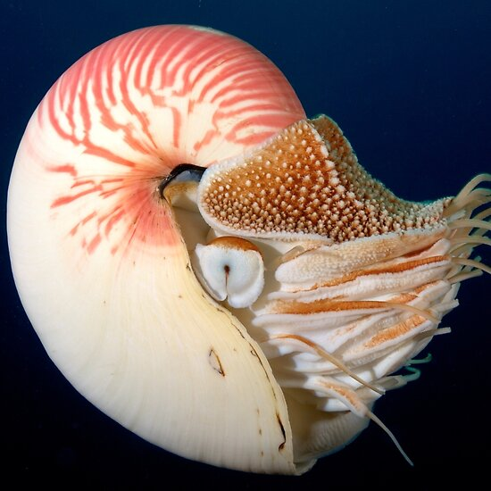the chambered nautilus The chambered nautilus - this is the ship of pearl, which, poets feign.