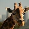 'City Dwelling Giraffe' featured in Zoofari