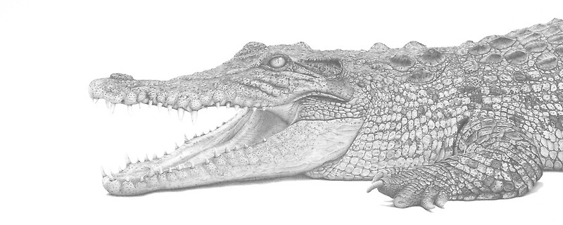 Young Croc by clive meredith