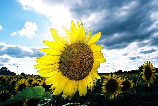 Fotografije suncokreta Work.450859.4.flat,550x550,075,f.sunny-sunflowers