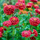 Red Zinnias - Seattle, Washington by April Rocha
