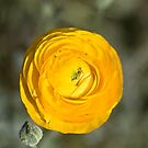 Yellow Ranunculus  Square - Los Angeles, California by April Rocha