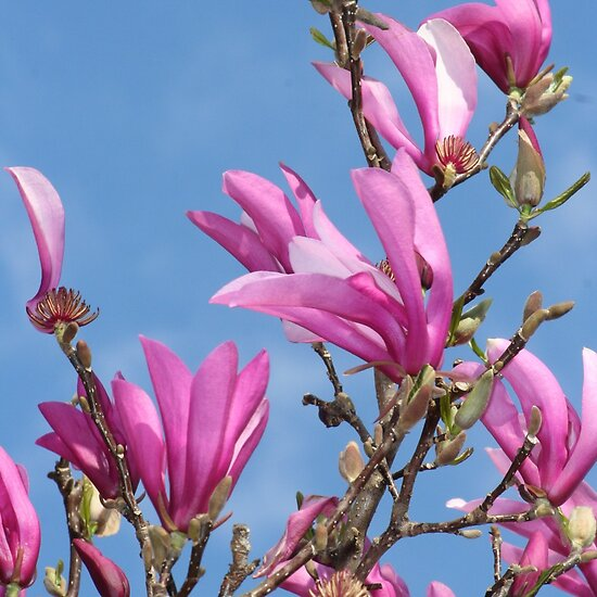 japanese magnolia tree pictures. Flowering Japanese Magnolia