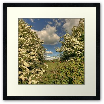 Whitethorn hedge in full flower in early summer near Corofin village in county Clare