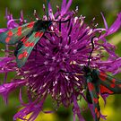 February's Photograph - greater knapweed with 6 spot burnet moths