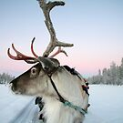 Snow Photography: Lapland Reindeer bt Trifle