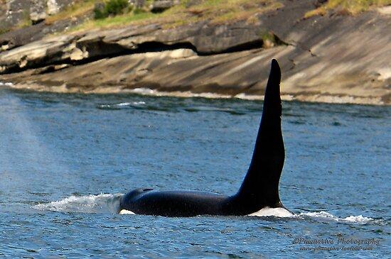 [Fiche d'identité] J1 ou Ruffles (R.I.P) Work.6038138.2.flat,550x550,075,f.ruffles-j-1-j-pod-southern-puget-sound-resident-orca