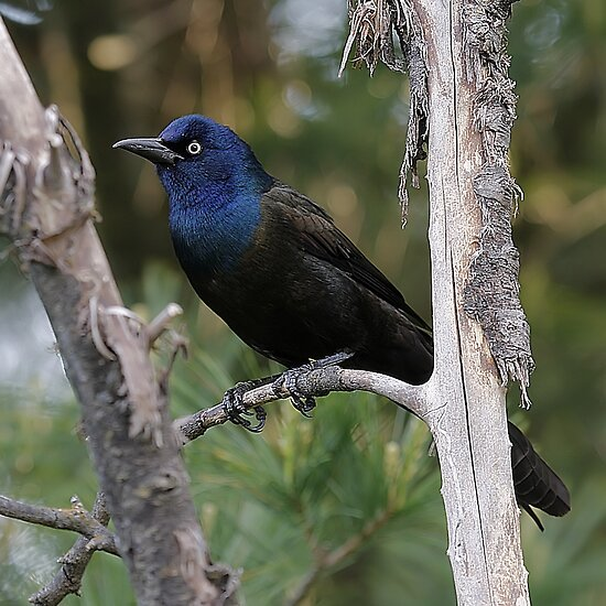 common grackle images. Common Grackle by Jim Davis