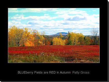 Maine Blueberry Fields