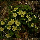 April's Photograph - Primroses of Spring