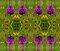 Pyramidal Orchid, Inishmore, Aran Islands