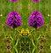Pyramidal Orchid, Inishmore
