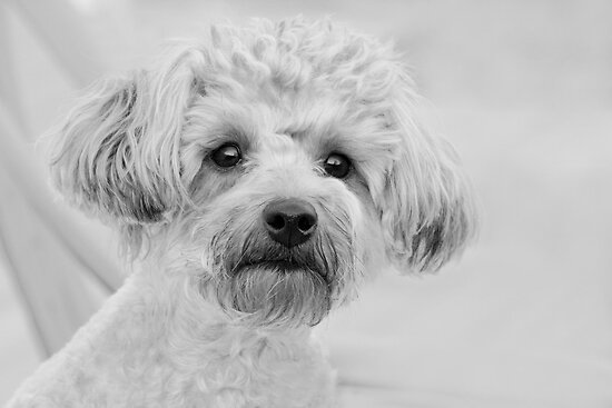 black and white yorkie poo. Awesome Abby the Yorkie-Poo by